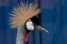 Grou-coroado, Ruanda