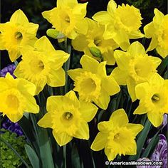Dutch Master or King Alfred Improved has been America's favorite daffodil for decades. It's great for naturalizing and creates the perfect early burst of classic yellow color. (Narcissus)
