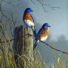 Robins on post....except these are Eastern Bluebirds.