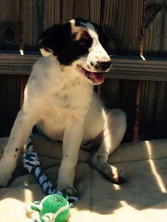 Australian Shepherd dog for Adoption in Del Rio, TX. ADN-554953 on PuppyFinder.com Gender: Female. Age: Young