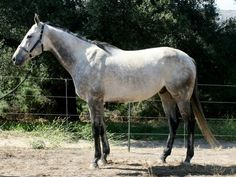 Cee Cee Seattle, aka Hawke, is a 7 year old registered grey Thoroughbred gelding who stands at 16.2hh with a temperament of 7.