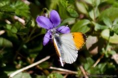 Orange-tip Butterfly on wildflowering violets in early Spring