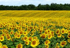 Find an awesome field of flowers