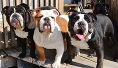 Olde English Bulldogges
