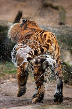 Tiger bath (love the motion of the water)