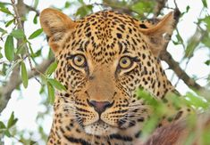 Leopard {Panthera Pardus} - Information about the Leopard, including photographs, fast facts, conservation status and general info. The most secretive ... Elephant Photography, Cat Photography, Fierce Animals, Wild Animals, Free Wedding Cards, African Leopard, Visit South Africa, Panthera Pardus, Animaux