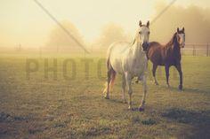Quarter Horses in Morning Fog - Wall Mural & Photo Wallpaper - Photowall