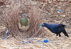 This bird is attracted to and collects anything blue when building a nest to impress his lady love. I am a bower bird! Kinds Of Birds, Love Birds, Beautiful Birds, Animals Beautiful, Nester, Australian Animals, Colorful Birds, Bird Species, Bird Art