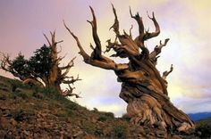 Bristlecone Pines are the oldest living organisms of any known species. They can be found in Utah, California, and Nevada, and date back nearly 5,000 years