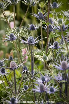 Sea Holly, Eryngium 'Sapphir Blue' perennial flower in garden