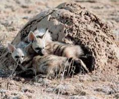 Aardwolf - Proteles cristata : A small relative of the hyena, this member of the family Hyaenidae has a specialized diet. Harvester termites. It is able to consume up to 200,000 of them in a night using its long, sticky tongue. It will lick up maggots, grubs and other soft-bodied creatures. It is solitary and nocturnal, resting in a burrow by day - Image : © Helen Thompson
