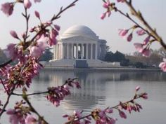 See Photos of Cherry Blossoms in Washington, DC: Cherry Blossoms and the Jefferson Memorial