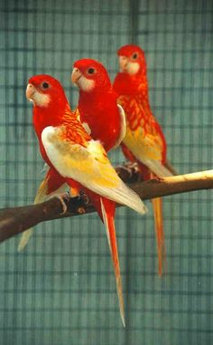 Trendy > Parakeets For Sale #excellent