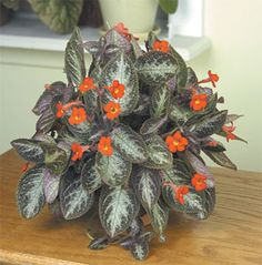 Chocolate soldier house plant. Hard to find but worth the effort.  They bloom continually under the right conditions.