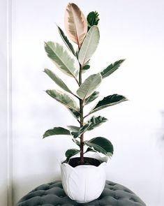 Rubberplant / Ficus Elastica