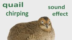 The #AnimalSounds: #Quail #Chirping - #SoundEffect - #Animation #quailVideo #forChildren  http://fin-fan-fun.blogspot.rs/2016/09/the-animal-sounds-quail-chirping-sound.html