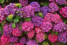 Resultado de imagem para imagens de hortensias