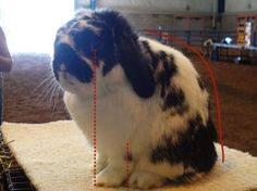 "Incorrect poses are common. In some cases, it's because the rabbit or the handler is inexperienced. In this case, the rabbit is often ""overposed,"" or sitting too high. This is displayed in the photos of the broken blacks. You can see that the front toes are correctly placed, but the back toes are scrunched up ahead of the hips. They are pushed up right behind the front feet, more closely in line with the shoulder of each animal."