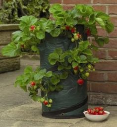 Container Gardening- How to Grow Strawberries