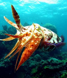 I think encountering one of these cutey cuttle fishes might leave me giddy!