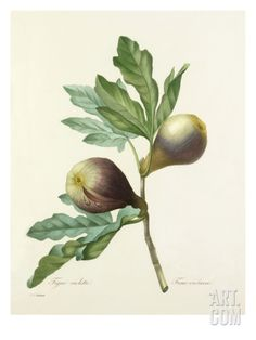 Figue violette: Ficus violacea Giclee Print by Joseph Marie Bessin at Art.com