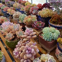 #succulent #succulentlove #succulentobsessed #plant #succulentobsession #cactus #succulents_only #succulents #succulentplant #plantgarden #succulentgarden #gardening #succulentas#succulove #cacti #cactuslover #cooperi #hobby #conophytum #haworthia #echeveria #plantgram #多肉 #多肉植物#다육#다육식물#가드닝 #다육스타그램#식물스타그램#미향다육 . . 이쁘다... 뒤에껀 내꼬 아님... 내껀 지극히 일부분..몇 개만...