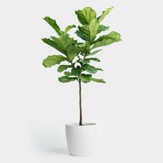 Ficus lyrata in Self Watering Container