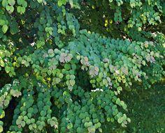 Katsura, Cercidiphyllum japonicum http://www.viherpiha.fi/pensaat-ja-puut/puu-joka-pihalle-katsura