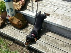 relaxing!!! (via Gustav's Dachshund World & Friends)
