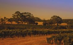 Those who know Riesling intimately, and drink it often, can argue that the top Rieslings are some of the greatest white wines in the world. It is interesting to think about its greatness in comparison to another top white variety – Chardonnay... http://www.snooth.com/articles/australian-riesling-no-one-formula-for-a-great-wine/