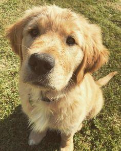 Puppy Luna #goldenretriever