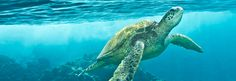 Help Protect Sea Turtles! We love sea turtles and other ocean wildlife. But, trash has infiltrated all reaches of our ocean, causing countless negative impacts on ocean life and coastal communities. The problem can seem overwhelming, but it's entirely preventable.You can make a difference. Take the pledge to turn the tide on ocean trash for sea turtles and other sea creatures.