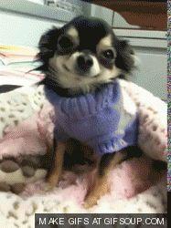 Smiling Chihuahua Animated GIF | GIFs - GIFSoup.com