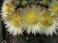flores cactus | Flickr - Photo Sharing!