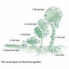 Learn how to design a lush forest garden right in your backyard with seven layers of vegetation including tall trees, low trees, shrubs, herbs, ground cover, vines, and root crops.