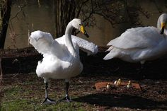 Whooper Swans in Leeds Castle, Kent.             Photographer is Mike Resch