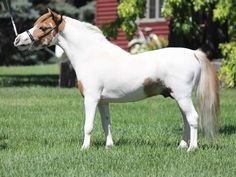 """This is your 2015 National Champion Sr stallion 28"""" and under! Sired by LM Hawks Rare Treasure, he is a tiny carbon copy of his famous sire. He also has supreme titles to his record. Offered by Mini Horse Sales"""