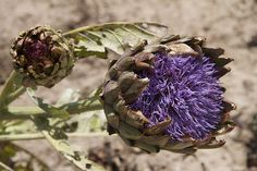 An artichoke in bloom