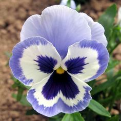 Pansy 'Adonis'Sweet, perfumed flavor. Related flowers, Johnny jump-ups or violas, and pansies now come in colorful purples and yellows to apricot and pastel hues. Eat the tender leaves and flowers in salads.