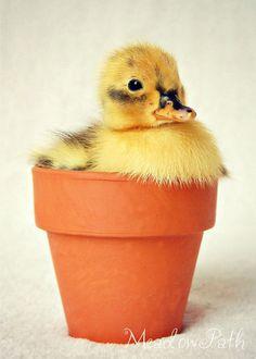 Duckling Baby Duck Terra Cotta Pot Nursery Baby by MeadowPath, $10.00