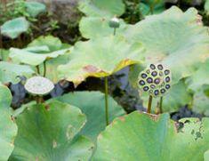 Sie suchen nach passenden Blumen für Ihren Miniteich? Dieser Artikel stellt Ihnen die schönsten Blumen für Ihren Teich vor.