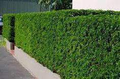Prachtige heg van Portugese laurier of Prunus lusitanica