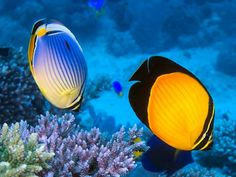 Reef Fish Hybrid