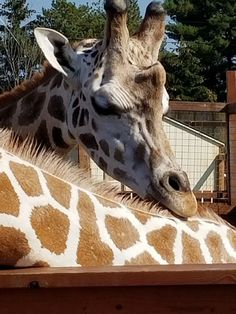 Live Cam Today: April and Tajiri the Giraffe New York at AAP | Today live stream on april the giraffe and tajiri the giraffe watch online from animal
