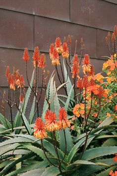 Aloe camperi and Streptosolen jamesonii .these do very well here in N.have used them for years. Aloe Plant, Landscaping Plants, Planting Flowers, Plant Design, Succulent Landscape Design, Drought Tolerant Plants, Trees To Plant, Succulent Landscaping, Planting Succulents