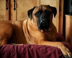Bull Mastiff, this will be our big dog!