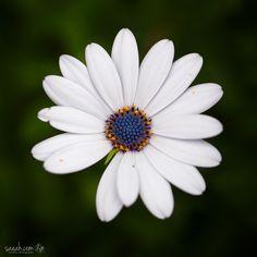 The Art of Im(perfection) XLI - African Daisy (Osteospermum) San Diego, California, USA