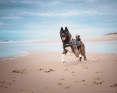 Malcolm is one happy Akita - Yummypets American Akita, Akita Dog, Dog Modeling, Cane Corso, Happy Animals, Pet Memorials, Dogs Of The World, Inu, Animal Pictures