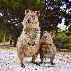 World Falls in Love with Quokka, Australia