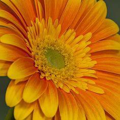 A beautiful Yellow and Orange Daisy closeup showing all it's glorius detail.  #orange #yellow #daisy #flower #spring